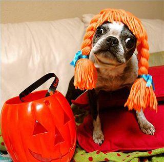 Dog_Orange_Wig